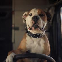 Человек учил собаку водить машину во время полицейской погони